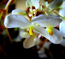 Rex Begonia Blossoms .. by trueblvr