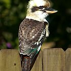 Kookaburra on the Back Fence by diggle