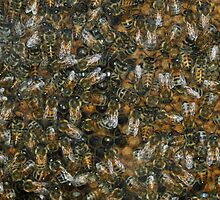 Ligurian pure bred bees! by jozi1