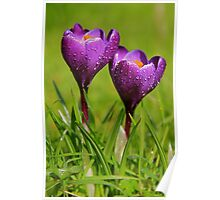 Purple crocus, first of Spring Poster