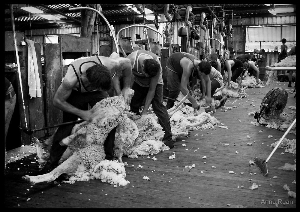 Shearing The Ewes!  by Anna Ryan