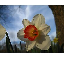 Peach and White Daffodil Photographic Print