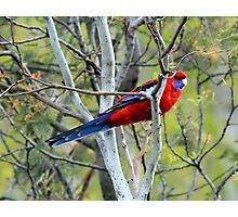 Crimson Rosella in Gosling Park Photographic Print