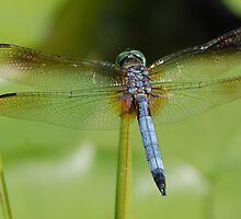 Blue Dragon by PhotosbyCoy