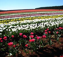 Tulips at Table Cape, Tasmania by Wendy Dyer