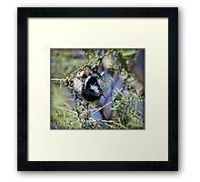 ~ Superb Fairy-wren ~ Framed Print