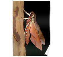 Hawk moth - Gnathothlibus erotus Poster