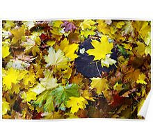 Top view on the fallen red, yellow and green autumn leaves of maple Poster