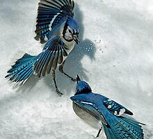 Snow Spat by Brian Pelkey