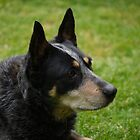 Cattle Dog by Jen7