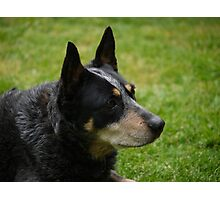 Cattle Dog Photographic Print