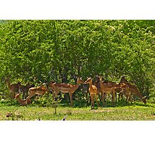 Impala herd Photographic Print