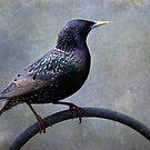 European Starling ~ by Renee Blake