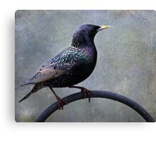 European Starling ~ Canvas Print