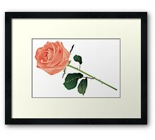 Beautiful rose isolated on white Framed Print