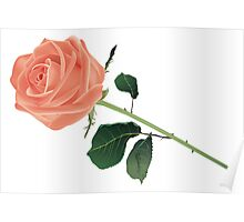 Beautiful rose isolated on white Poster
