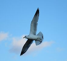 Ring-billed gull by hummingbirds