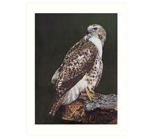 Juvenile Red-Tailed Hawk Art Print