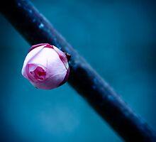 Cherry Blossom Bud by Stephanie Sim