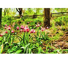 Dreamy Tulip Garden - Impressions Of Spring Photographic Print