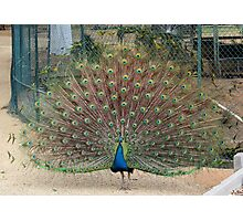 Peacock in Spring Photographic Print
