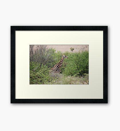 Giraffe in South Africa Framed Print