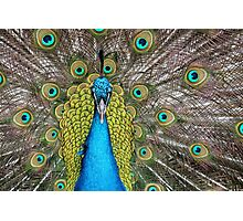 Male Peacock on display Photographic Print