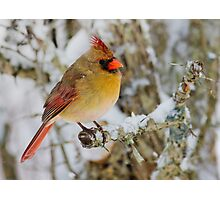Female Cardinal perched on a branch Photographic Print
