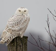 Snowy Owl on a fence post by michelsoucy