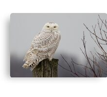 Snowy Owl on a fence post Canvas Print