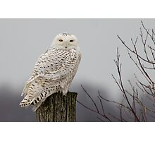 Snowy Owl on a fence post Photographic Print