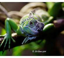 Looking iguana by bluetaipan