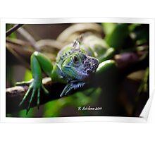 Looking iguana Poster