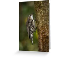 White-throated Tree Creeper Greeting Card
