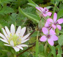Windflower and Pin Clover by Navigator