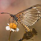 Dusky Acraea - Hyalites esebria esebria by Peter Wickham