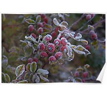 Hoar frost on rose hips Poster