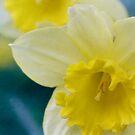 Daffodil  dreams by Lynn Starner