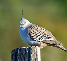 Crested Pigeon. Cedar Creek, Queensland, Australia (3) by Ralph de Zilva