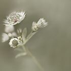 Astrantia major 'white' by Rosie Nixon