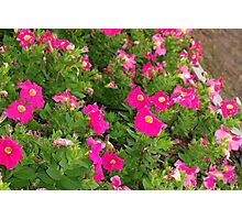 Pink petunia patch Photographic Print
