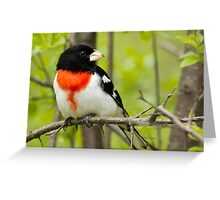 Male Red Breasted Grosbeak Greeting Card