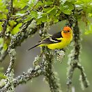 Western Tanager by Tom Talbott