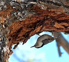 Nuthatch In Search For Food by Diana Graves Photography