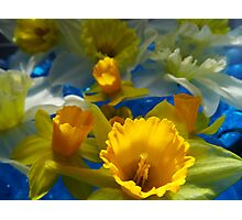 Daffodils In Blue Photographic Print