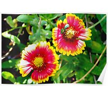 Green bee on sunny blanket flowers Poster