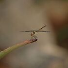 Dragonfly by lapoota72