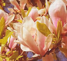Magnolia flowers by cycreation
