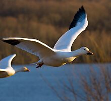 Snow Geese in Flight by Mark Van Scyoc
