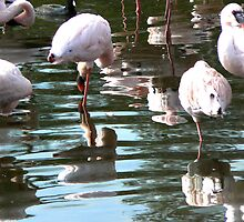 Flamingo Reflections by tperlste